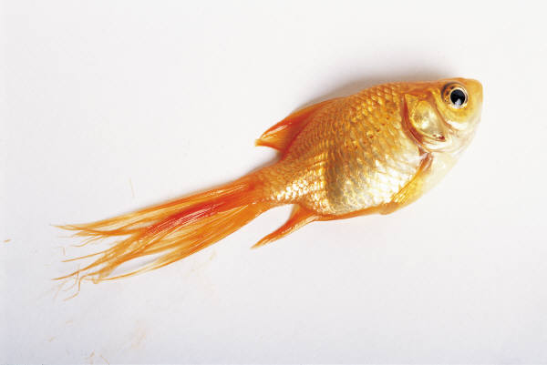 goldfish-out-of-water