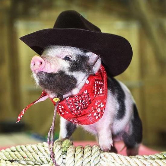 pig in cowboy hay