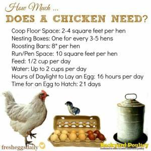 CHICKEN NEEDS