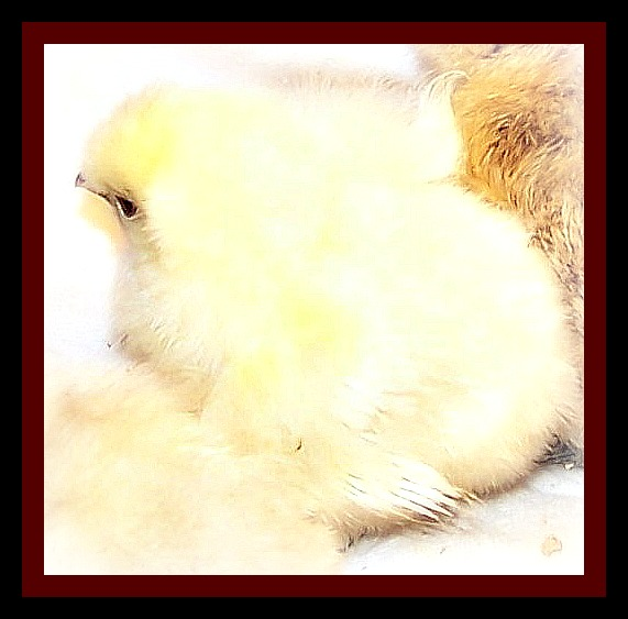 APRIL 28 CHICKS 2 LOST BABY