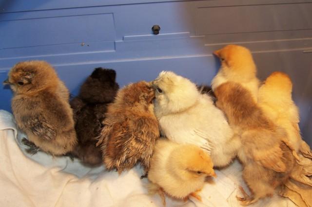 april 30 chicks 1