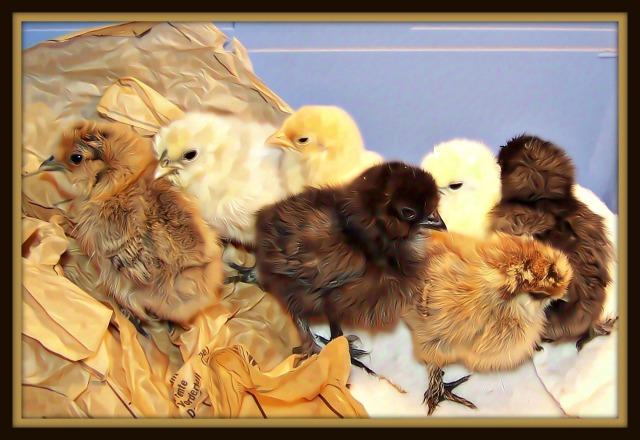 chicken-baby-art-work-redone