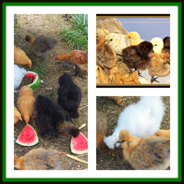 chicks-3-pic