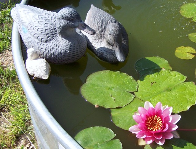 FISH POND DUCKS LILY 1.JPG